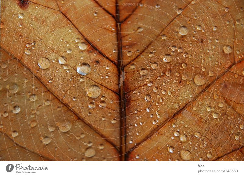 Leaf Environment Nature Plant Water Drops of water Autumn Brown Gold Colour photo Close-up Detail Macro (Extreme close-up) Deserted Morning Dawn Day