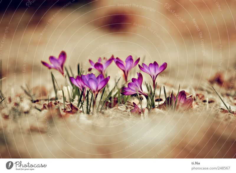 Beautiful Plant Leaf Blossom Spring Bright Growth Blossoming Fragrance Spring fever Crocus