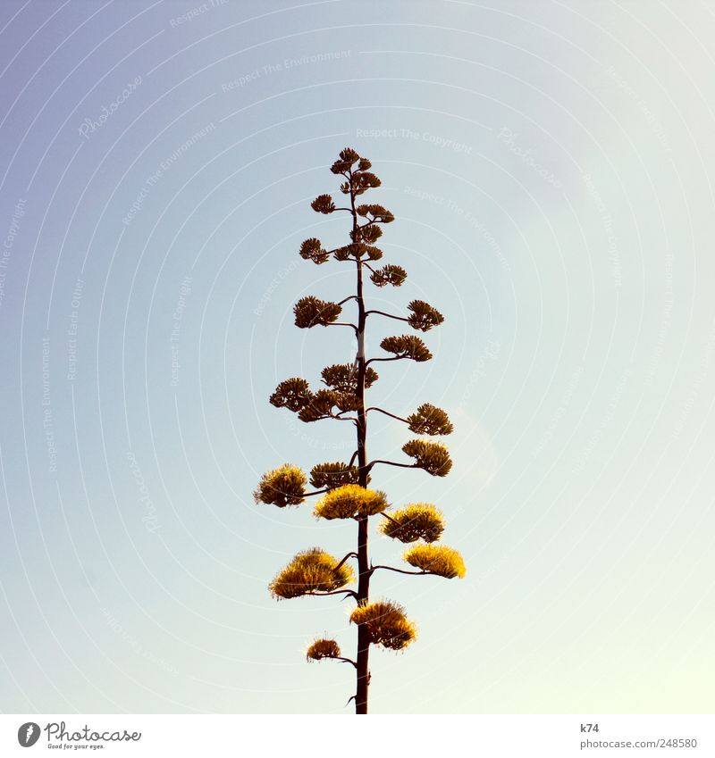 agave Environment Nature Plant Sky Cloudless sky Exotic Agave blossom Blossoming Tall Blue Yellow Colour photo Subdued colour Exterior shot Deserted