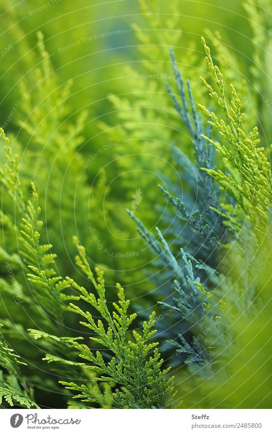 hedgerow green Nature Plant Summer Bushes Foliage plant Hedge hedge cypress Garden Park Beautiful Green Blur Fence Dark green Bright green full-frame image