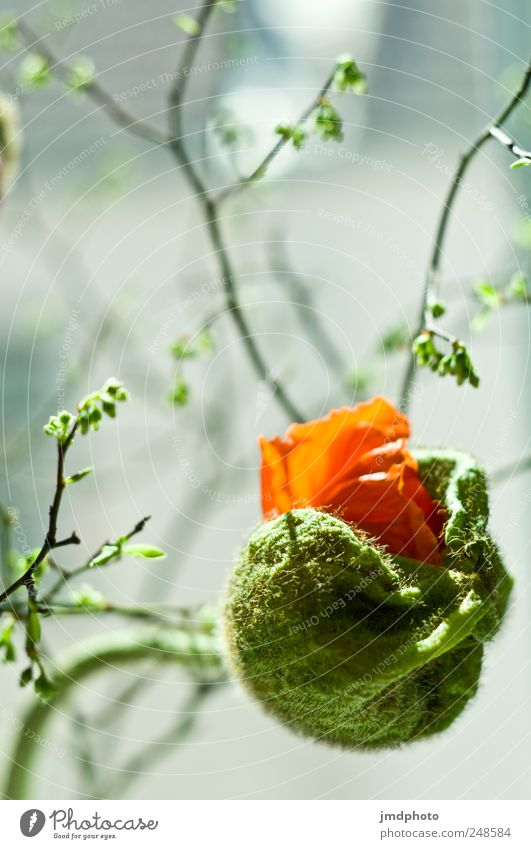 Nature Green Beautiful Red Plant Flower Spring Elegant Free Esthetic Growth Curiosity Touch Fantastic Blossoming Poppy