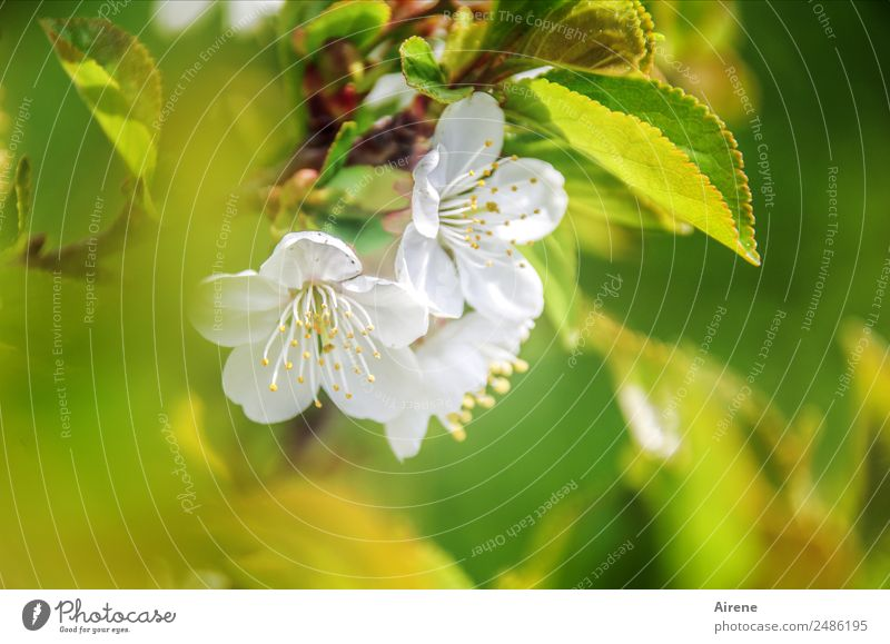 Zero eight fifteen | typical spring picture Plant Spring Blossom Cherry blossom Cherry tree Blossoming Friendliness Bright Green White Spring fever