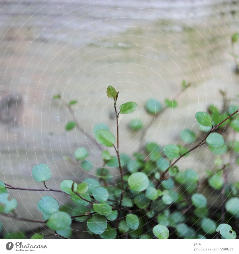 Plant Leaf Gray Wood Brown Natural Delicate Foliage plant Light green