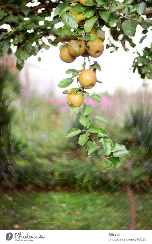 Tree Summer Nutrition Garden Food Healthy Fruit Fresh Sweet Round Apple Branch Delicious Hang Twig Organic produce
