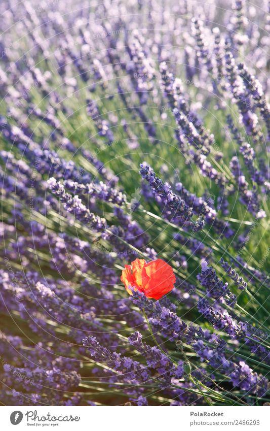 #A# purple-red Art Esthetic Poppy Poppy blossom Poppy field Lavender Lavender field Lavande harvest Violet Red minority Beautiful Field Blossoming