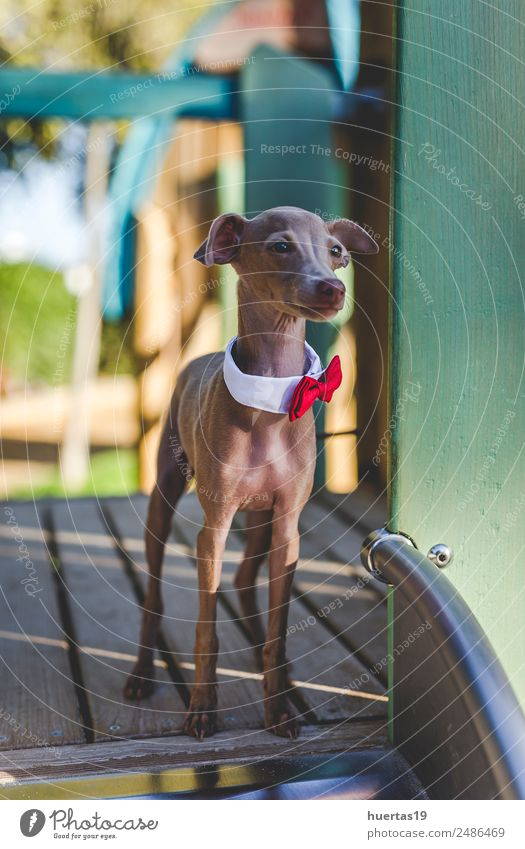 Little italian greyhound dog in the field Nature Dog Beautiful Animal Funny Happy Garden Brown Friendship Park Happiness Cute Friendliness Pet Costume Vertical