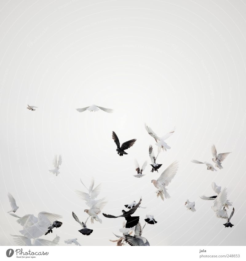 wings of love Feasts & Celebrations Sky Animal Bird Pigeon Flock Flying Colour photo Exterior shot Deserted Copy Space right Neutral Background Day