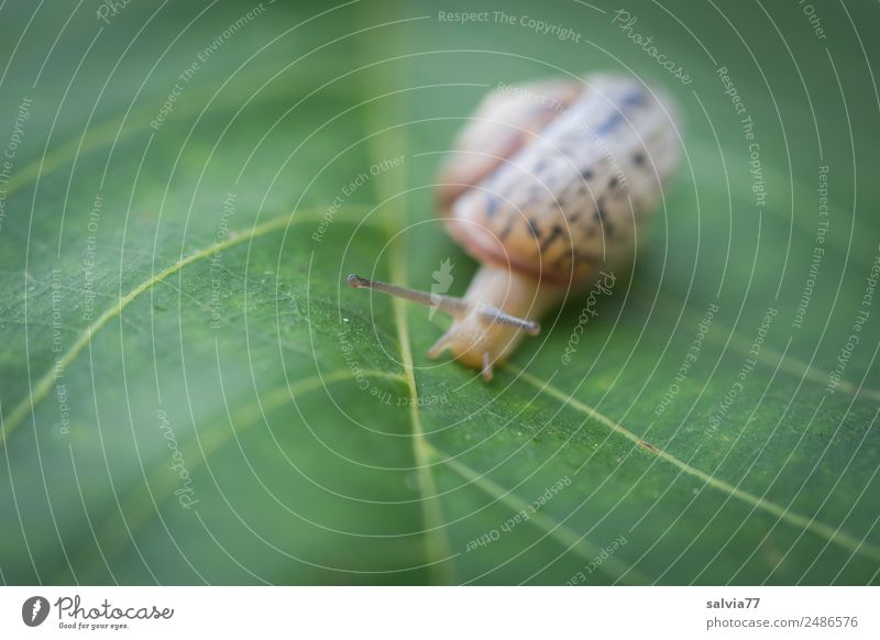 Speed | Screw speed Nature Plant Leaf Leaf green Rachis Animal Snail Feeler Mollusk 1 Slimy Brown Green Calm Protection Symmetry Lanes & trails Target Slowly
