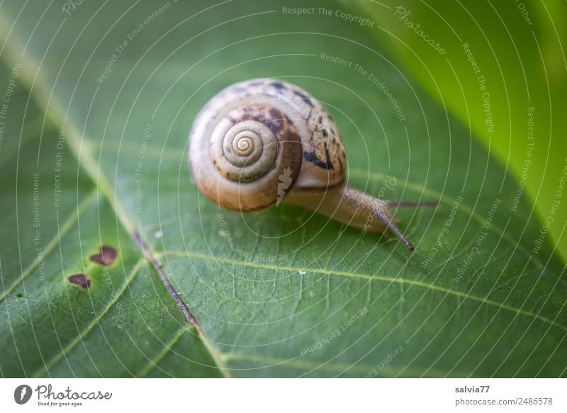 camper Environment Nature Plant Leaf Animal Snail 1 Slimy Brown Green Speed Mobility Lanes & trails Target Crawl Slowly Spiral Protection Feeler Pattern Rachis