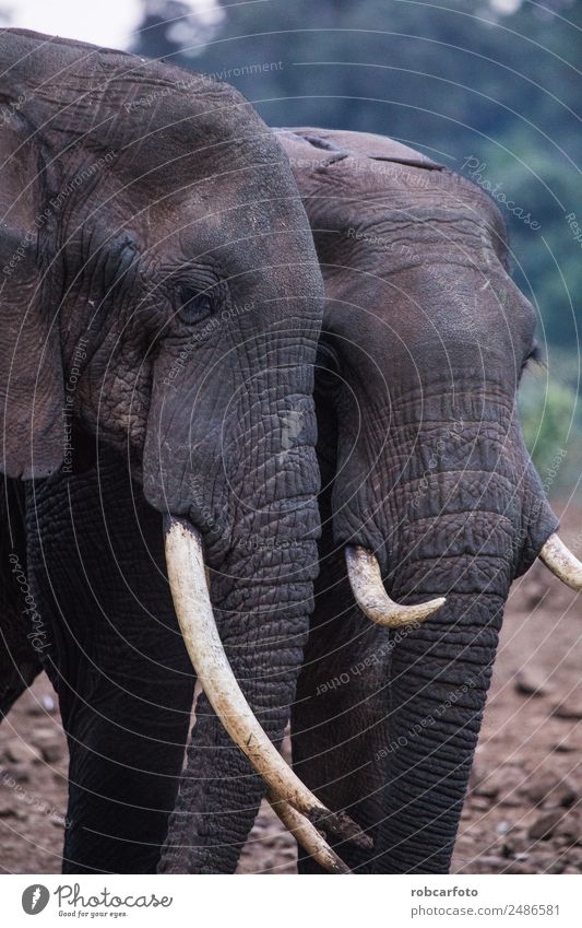 two elephants in Aberdare National Park in Kenya Family & Relations Mouth Nature Animal Natural Strong Wild Power Elephant trunk wildlife asian big head 2