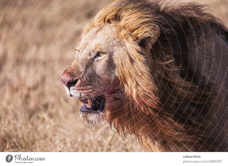 lion with bloodstained face Masai Mara in Kenya, Africa Beautiful Playing Safari Man Adults Nature Landscape Animal Grass Park Cat Stand Natural Wild Colour