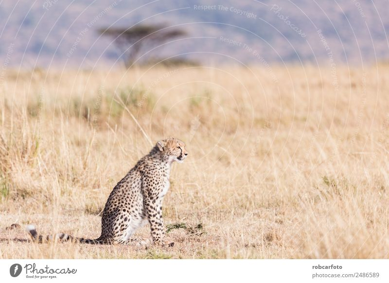 Cheetah in masai mara in kenya africa Beautiful Vacation & Travel Tourism Safari Mouth Nature Animal Sky Park Fur coat Cat Baby animal Natural Wild Blue Kenya