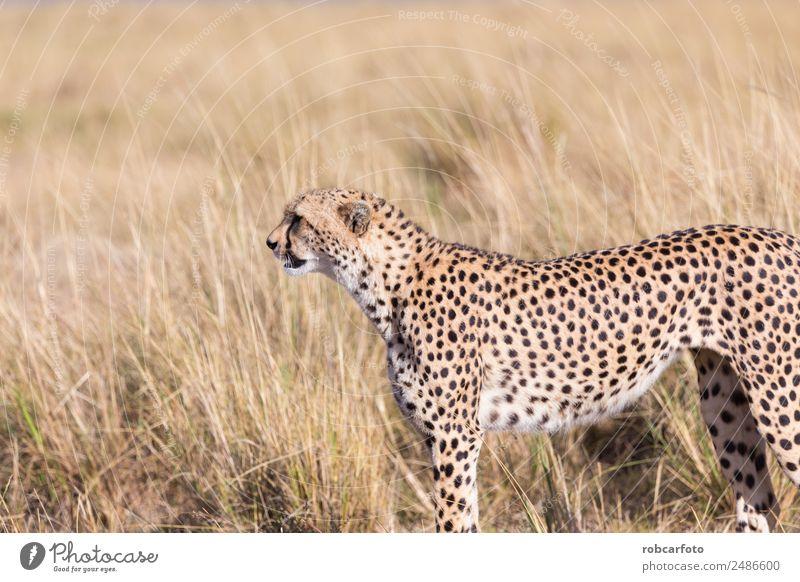Cheetah in Masai Mara in Kenya, Africa Beautiful Vacation & Travel Tourism Safari Mouth Nature Animal Sky Park Fur coat Cat Baby animal Natural Wild Blue masai