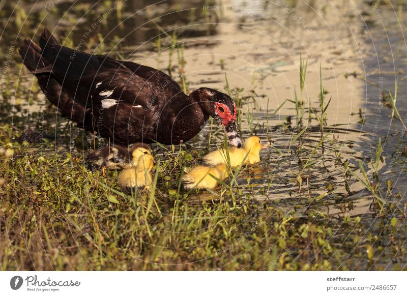 Mother and Baby Muscovy ducklings Cairina moschata Summer Parents Adults Family & Relations Nature Animal Pond Farm animal Wild animal Bird Flock Baby animal