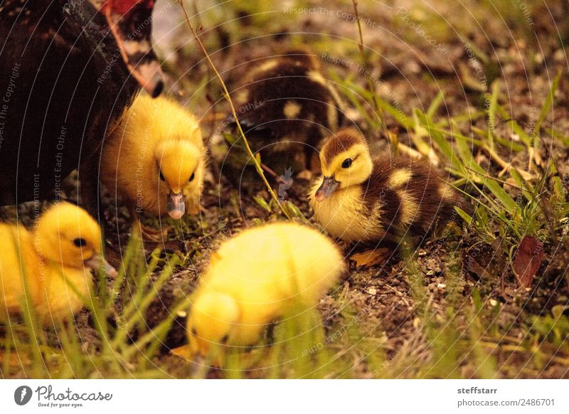 Baby Muscovy ducklings Cairina moschata Summer Family & Relations Nature Animal Pond Farm animal Wild animal Bird Flock Baby animal Cute Brown Yellow Chick