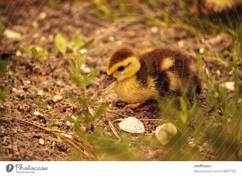 Baby Muscovy ducklings Cairina moschata Nature Summer Animal Baby animal Yellow Family & Relations Bird Brown Wild animal Cute Farm Pond Farm animal Chick