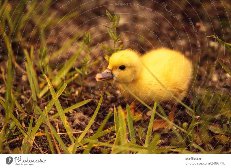 Baby Muscovy ducklings Cairina moschata Nature Summer Animal Baby animal Yellow Family & Relations Bird Wild animal Cute Farm Pond Chick Duck birds Florida