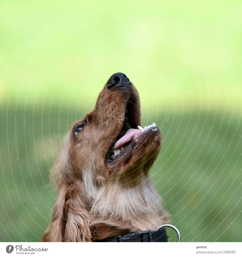 Dog look in the air Animal Park Pet 1 Looking Brown Green Cocker Spaniel Purebred dog Hound Animal portrait Head Snout Colour photo Exterior shot Deserted Day