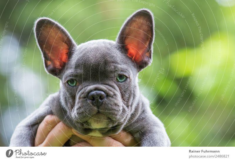 "Portrait of a very young French Bulldog Animal Summer Pet Dog ""Bulldog Puppy"" 1 Baby animal Observe Brash Friendliness Emotions Trust Serene ""sweet Cute"