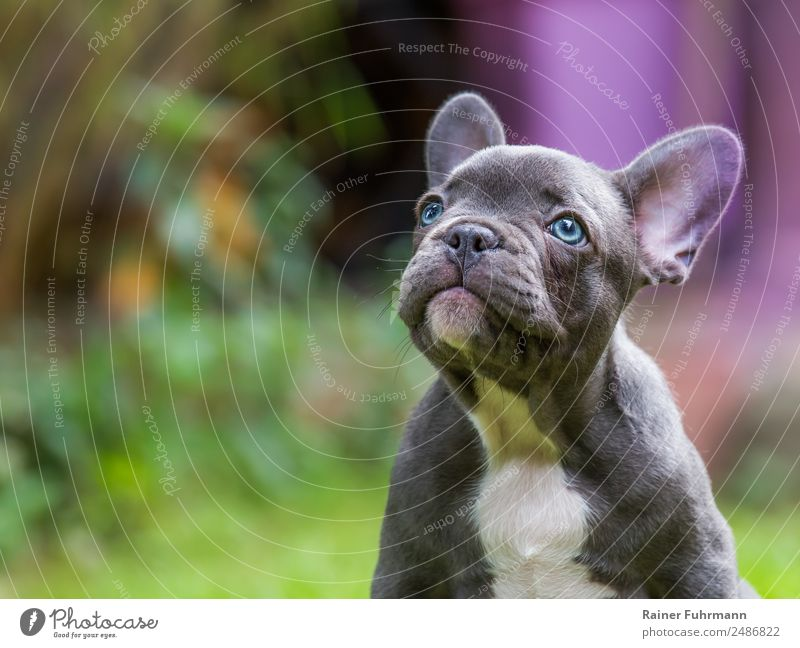 "a very young French Bulldog Animal Pet Dog 1 Baby animal Sit Natural Curiosity Trust Friendship Love Love of animals ""Pet French Bulldoge"" Colour photo"
