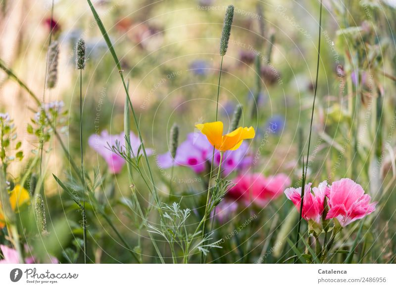 Flower mixture II Nature Plant Summer Grass Leaf Blossom Wild plant Poppy Cornflower Phlox Garden Meadow Blossoming Fragrance Faded To dry up Growth Esthetic