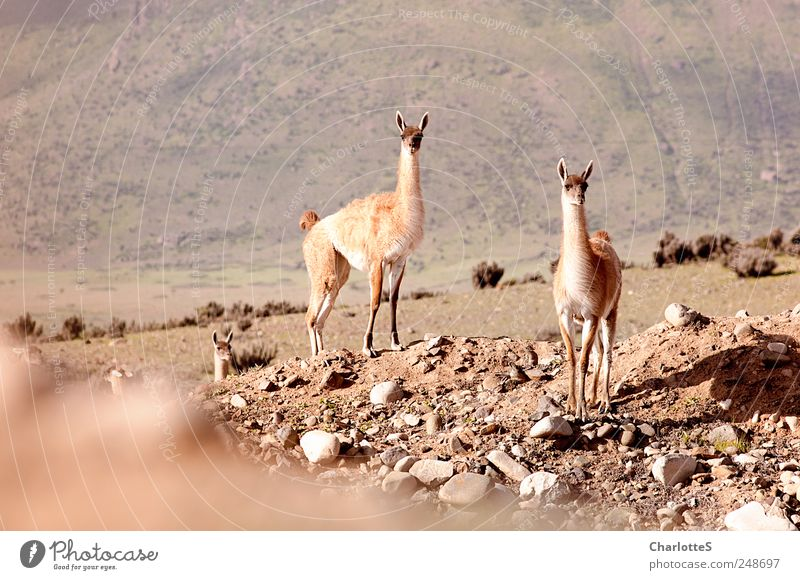 guanacos Exotic Safari Expedition Summer vacation Mountain Environment Nature Landscape Elements Sand Drought Fjord Desert Andes Stone Stony Lichen Cactus
