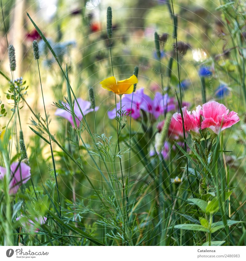 colored Nature Plant Summer Beautiful weather Flower Grass Leaf Blossom Wild plant Poppy blossom Mallow plants field clarion weed Cornflower Garden Meadow