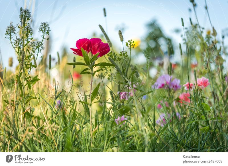 summer flowers Nature Plant Cloudless sky Summer Beautiful weather Flower Grass Leaf Blossom Wild plant Poppy Phlox Cowslip plants Garden Meadow Blossoming