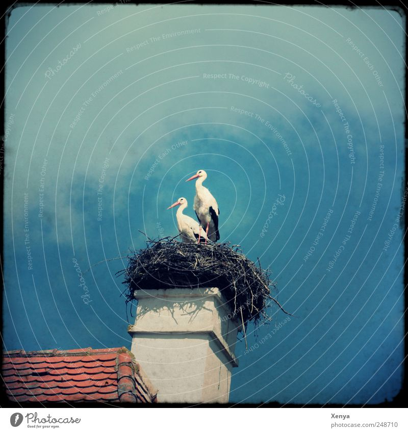 twins Wild animal Bird Stork 2 Animal Pair of animals Wait Nest Roof Chimney Exterior shot Deserted Copy Space top Day