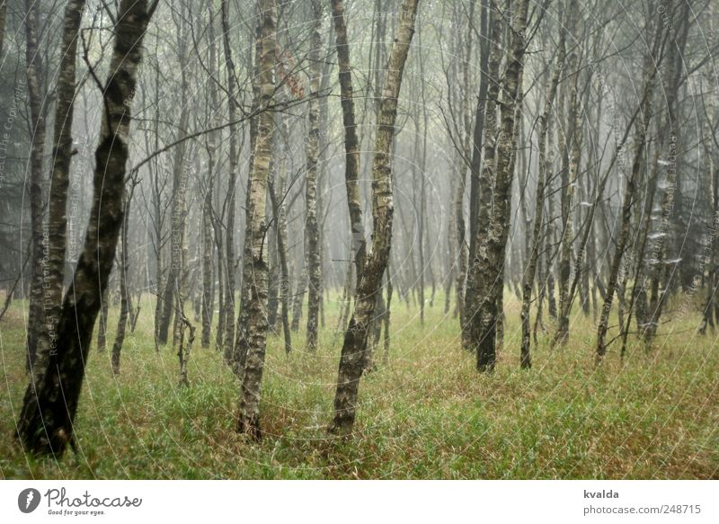 birch forest Trip Hiking Environment Nature Landscape Plant Autumn Bad weather Fog Tree Grass Foliage plant Movement Discover Relaxation Going To enjoy Dark Wet