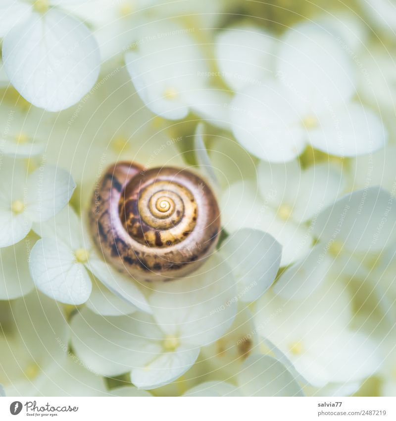 live better Environment Nature Summer Plant Flower Blossom Hydrangea blossom Garden Animal Snail Snail shell 1 Round Soft Brown White Calm Protection Spiral