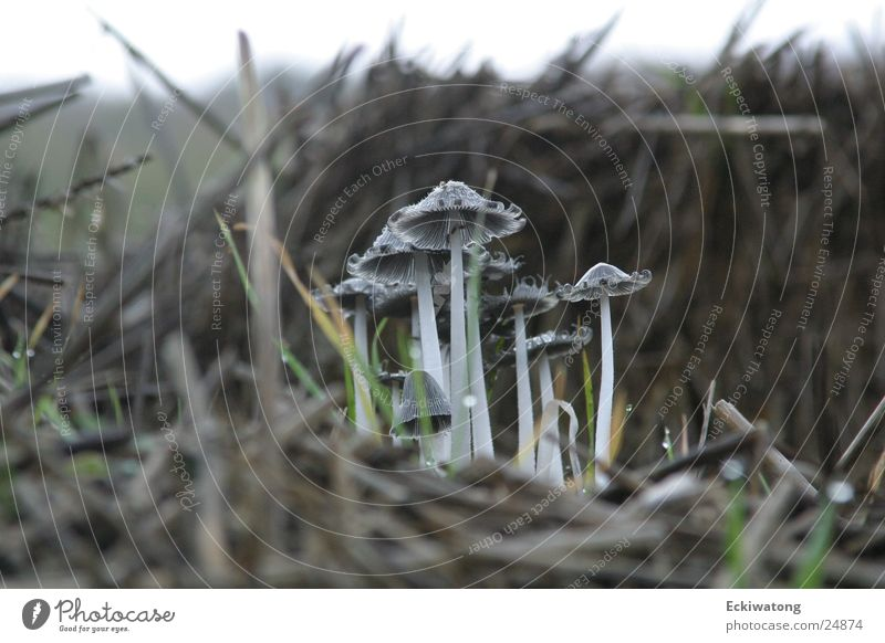 Autumn Mushroom Straw