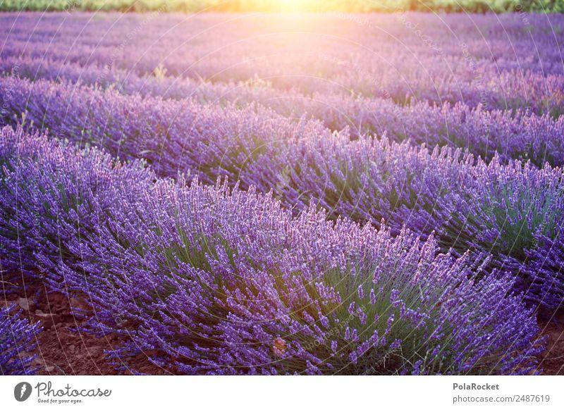 #A# Purple morning Environment Nature Landscape Plant Climate change Beautiful weather Field Esthetic Lavender Lavender field Lavande harvest Violet Provence