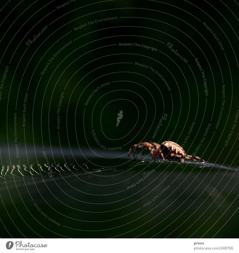 Green Animal Line Brown Sit Wild animal Net Insect Creepy Spider Crawl Spider's web Cobwebby