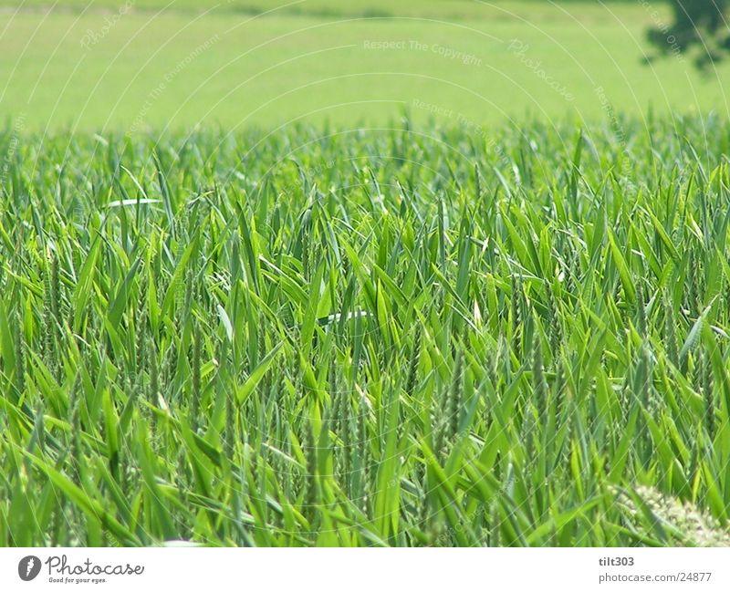 grass green and juicy Grass Green