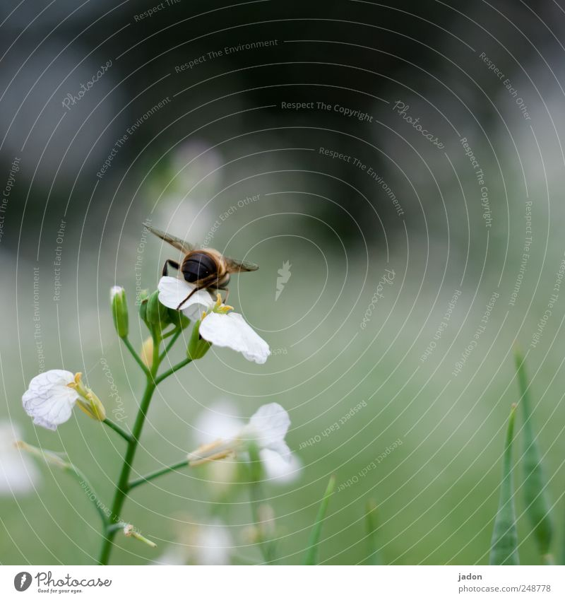 the industrious. Nature Plant Animal Flower Field Bee 1 Natural Diligent Insect Collection Copy Space right Animal portrait