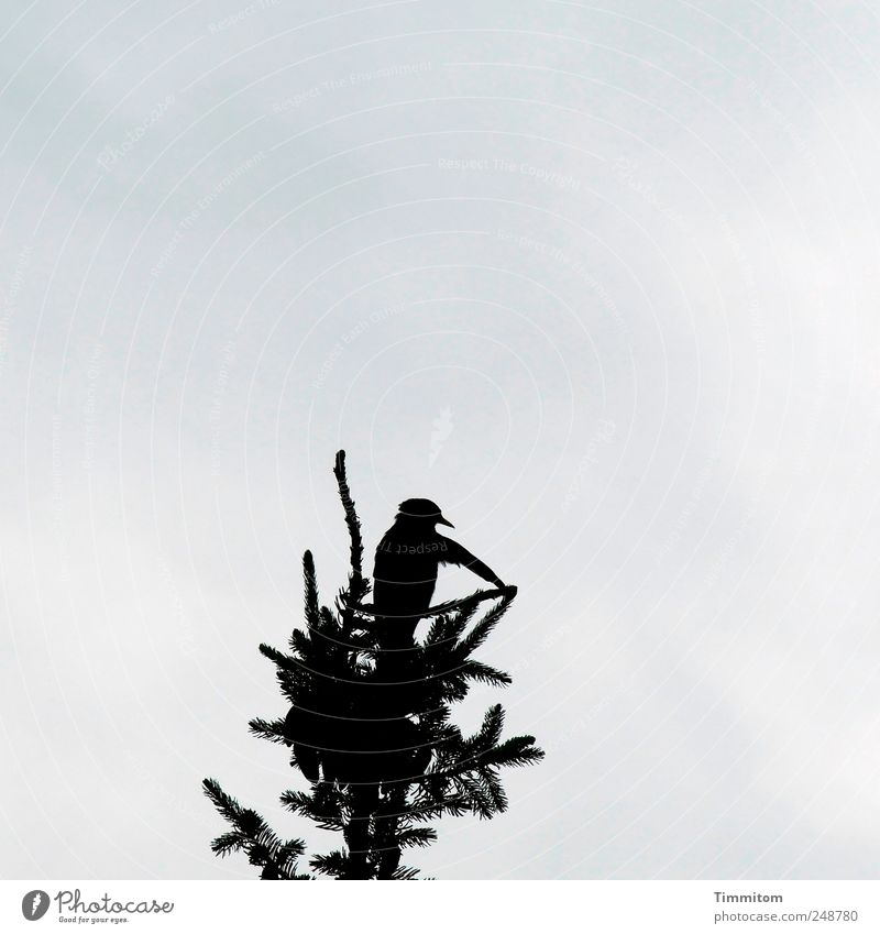 Nature Summer Tree Clouds Animal Joy Black Movement Exceptional Bird Wild animal Esthetic Christmas tree Purity Spruce Blackbird