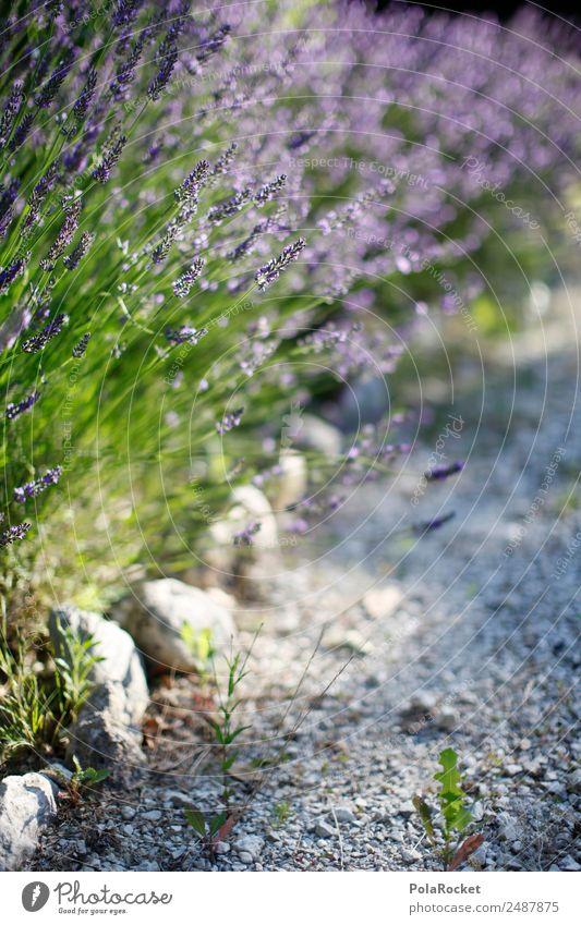 Nature Plant Landscape Environment Garden Park Esthetic Idyll Beautiful weather Climate Violet France Lavender Provence Wayside Lavender field