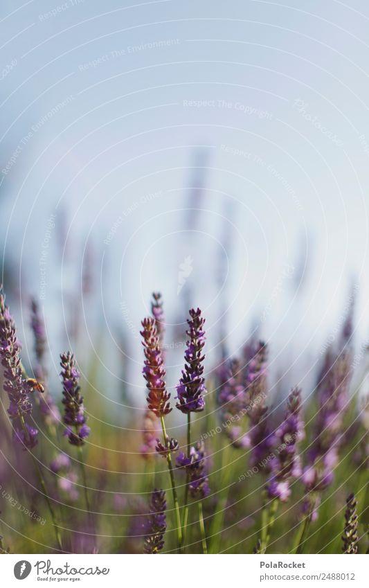 Nature Plant Landscape Flower Environment Esthetic Blossoming Violet France Lavender Provence Lavender field Lavande harvest Green pastures