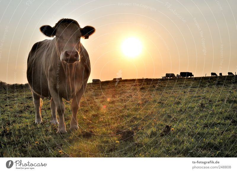 Sky Nature Green Summer Animal Yellow Environment Meadow Landscape Gold Group of animals Beautiful weather Pasture Cow Agriculture Cloudless sky