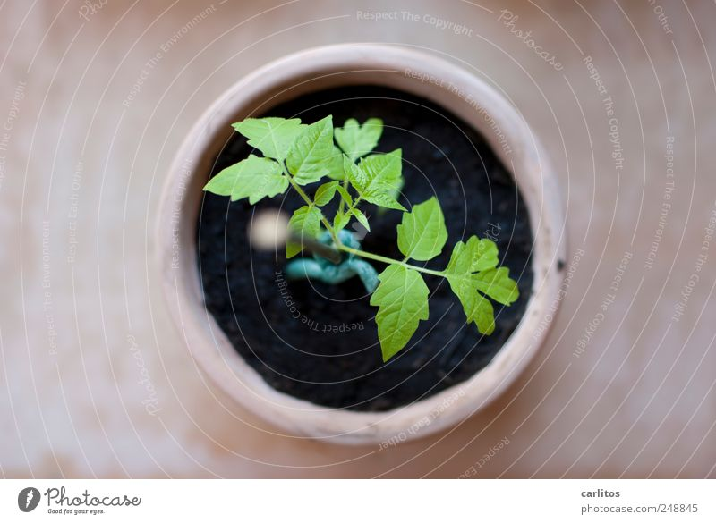 everybody starts out small Plant Growth Tomato Solanaceae Shoot Leaf Breed Sowing Flowerpot Terracotta Round Circle Green Black Brown Rod Bind fast