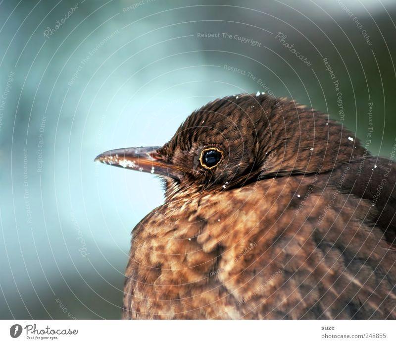 Mrs. Blackbird Nature Plant Animal Wild animal Bird 1 Sit Wait Fat Cuddly Natural Cute Brown Feather Songbirds Beak Ornithology Domestic Seasons Soft