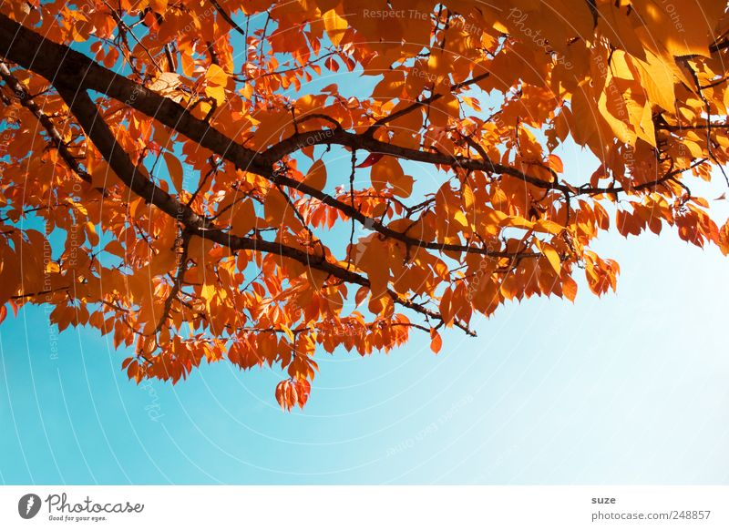 Colourful Environment Nature Sky Cloudless sky Clouds Autumn Weather Beautiful weather Tree Leaf Illuminate Old Esthetic Natural Blue Gold Autumn leaves