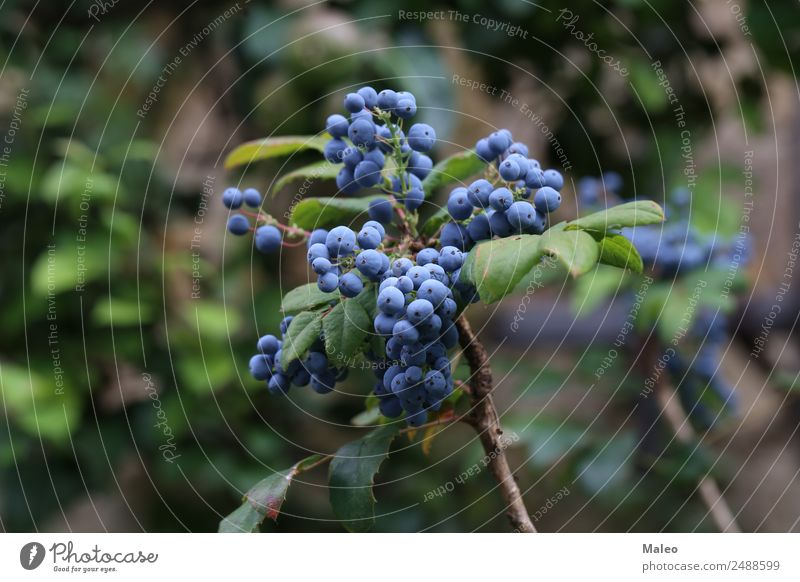 Blue berries Berries Branch Autumn Background picture Bushes Colour Fresh Fruit Garden Bunch of grapes Green Healthy Healthy Eating Juniper