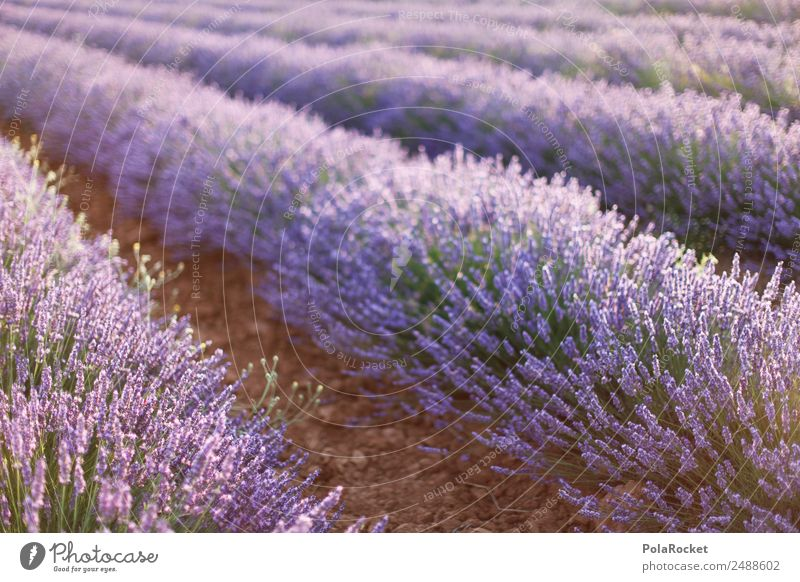 #A# Purple Fields Art Esthetic Lavender Lavender field Lavande harvest Provence France Violet Blossoming Green pastures Idyll Fragrance Spring Agriculture