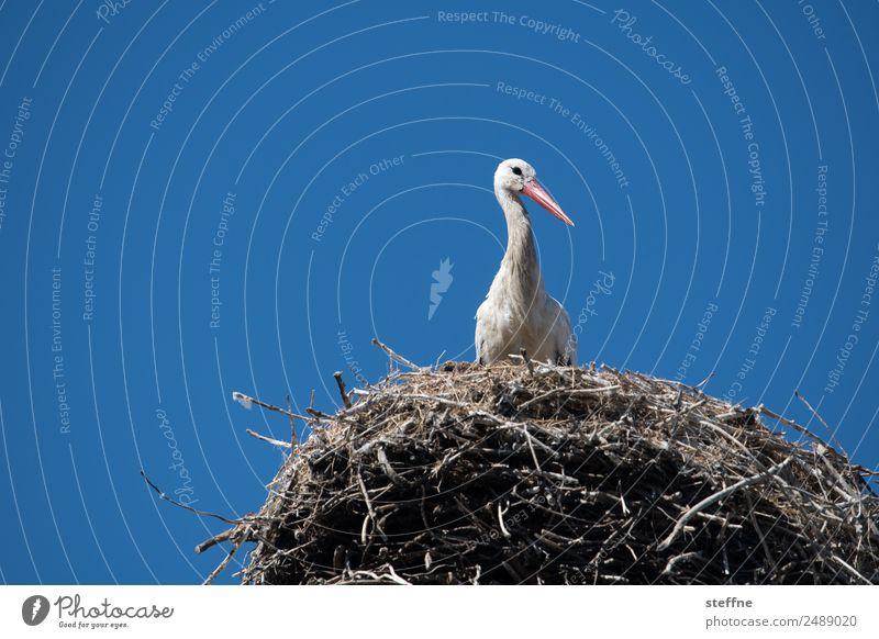 Animal Wild animal Observe Stork Eyrie White Stork