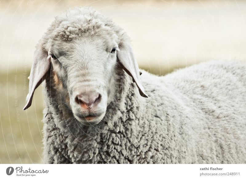 a sheep Environment Nature Grass Animal Farm animal Wild animal Animal face Pelt Petting zoo Sheep Ear Nose Eyes Snout 1 Think Looking Wait Old Cool (slang)
