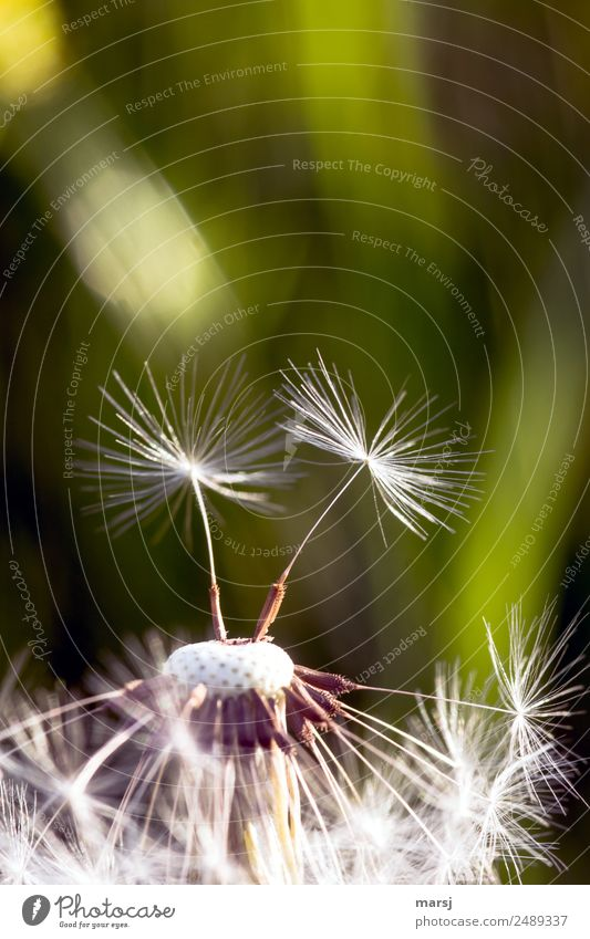 Summer goodbye Nature Spring Plant Dandelion Seed Thin Authentic Small Agreed Unwavering Hope Contentment Success Freedom Ease Survive 2 Propagation Together