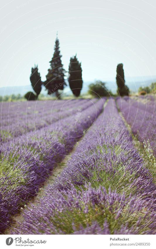 Nature Plant Landscape Environment Field Esthetic Idyll Beautiful weather Violet France Row Lavender Provence Lavender field Lavande harvest