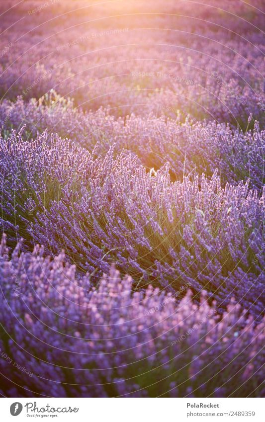 #A# Purple Glow Environment Nature Landscape Plant Sun Sunrise Sunset Sunlight Spring Climate Beautiful weather Garden Meadow Field Esthetic Kitsch Lavender
